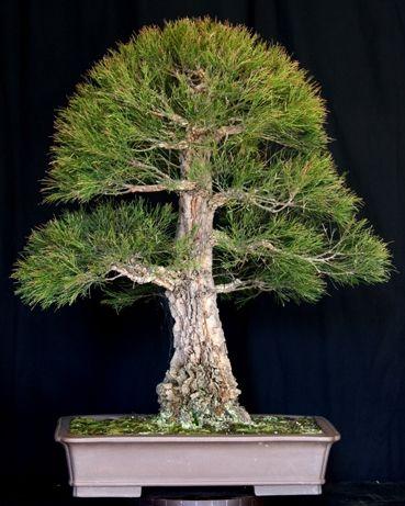 Nice looking Bonsai tree