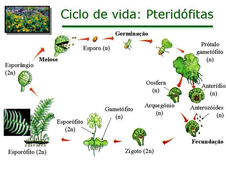 Ciclo De Vida Das Pteridofitas Ciclo De Vida Das Plantas