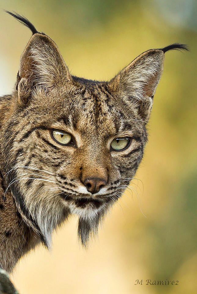 Iberian lynx ~ By Manuel Muñoz Ramírez