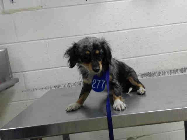 02/10/17-HOUSTON - SUPER URGENT - This DOG - ID#A477450  I am a male, blue merle and tricolor Dachshund.  My age is unknown.  I have been at the shelter since Feb 10, 2017.  This information was refreshed 10 minutes ago and may not represent all of the animals at the Harris County Public Health and Environmental Services.