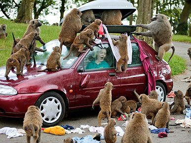Don't let baboons try on your clothes