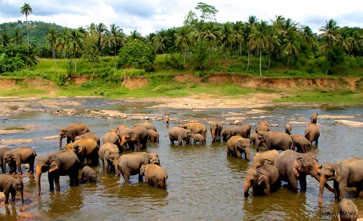 Pinnawala Elephant Orphanage (PEO) ; just as the name suggests holds a unique disposition in the ex-situ animal care. It's success and fame has travelled not just within the country but throughout the world to an extent where Pinnawala synonymous with the Sri Lankan Elephant.
