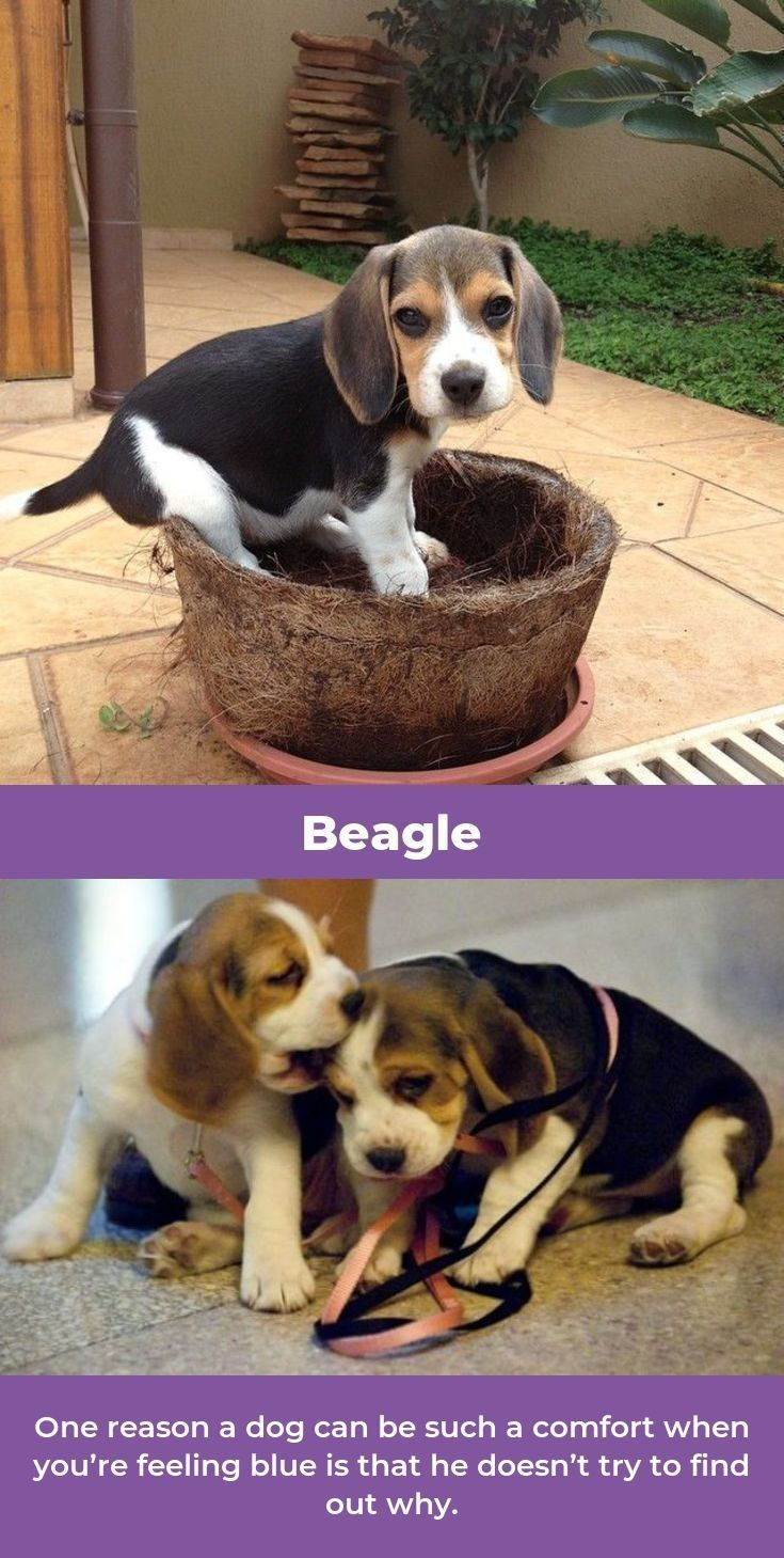 Beagle Friendly And Curious Beagle Puppy Beagle Dog Crate