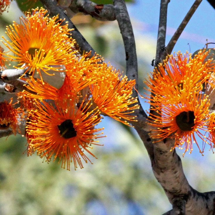439 best images about western australian native plants on pinterest