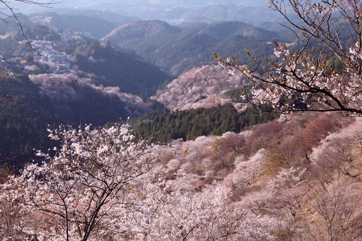A mountainside covered in cherry blossoms at Yoshino Mountain, Japan