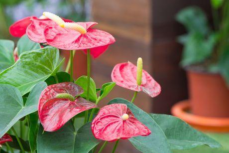 Medzi bežne pestovanými kvetmi v domácnostiach sa objavujú i také, ktoré sú nebezpečné – sú jedovaté. Toxikológovia označili za takto nebezpečných asi 20 druhov izbových rastlín. máte nejakú z nich doma?