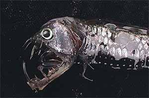Las insondables profundidades abisales albergan una curiosa fauna con una apariencia monstruosa en su mayor parte.