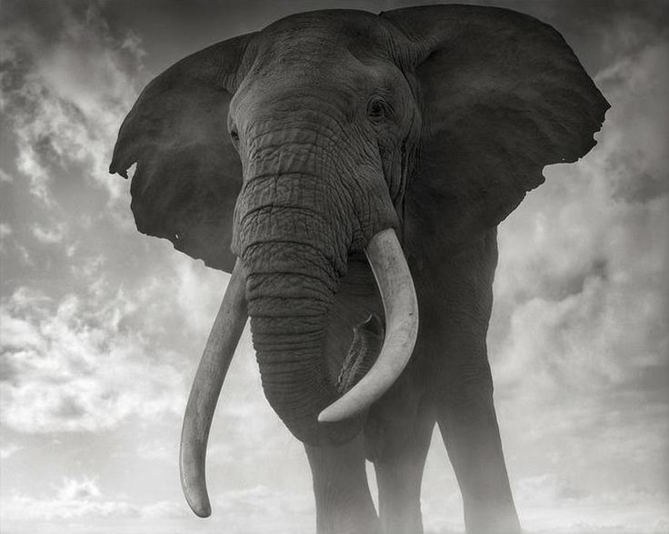 Nick brandt elephant against sky amboseli 2011 archival pigment print 56 x ed of 10 nick brandt art nick brandt photos nick brandt gallery new york