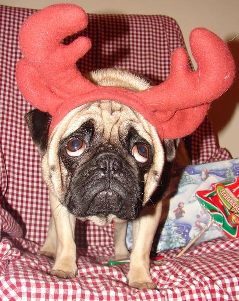 sad reindeer #Pugs   • Pugs •   Pinterest