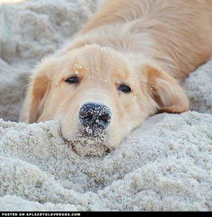 Such a cute beach baby!! #dogs #photographs #goldenretriever