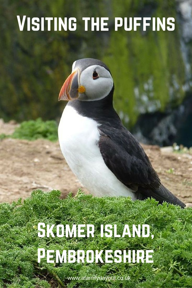 Visiting the puffins on Skomer, Pembrokeshire, Wales