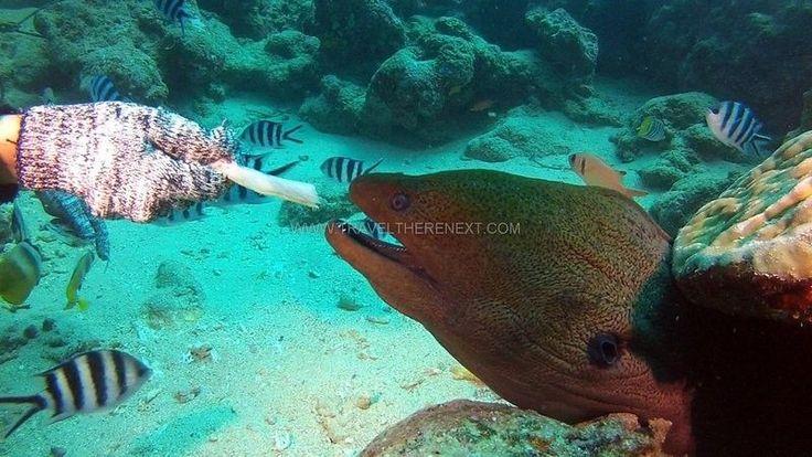Feeding a moray eel  Read more: http://www.traveltherenext.com/adventure/item/486-diving-komodo-national-park  #visitindonesia #komodo #nationalpark #diving #turtles #morays #sharks #eels #experience #adventure #travel #traveltherenext