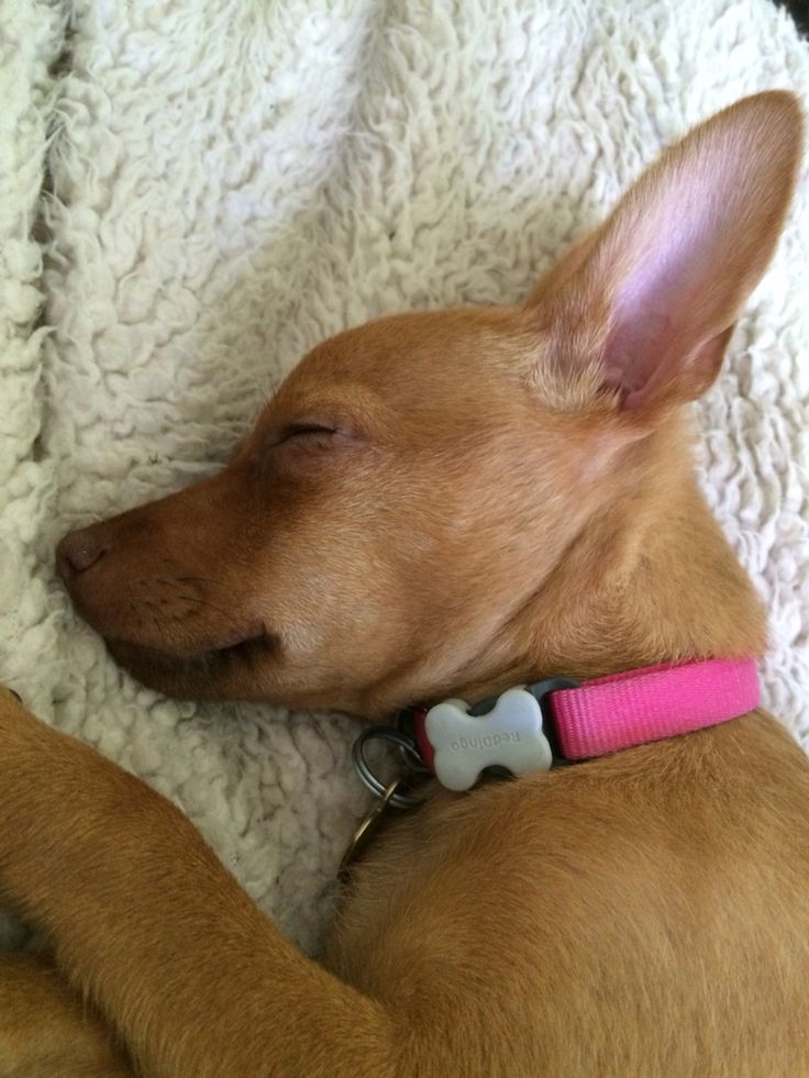 Min pin chihuahua terrier mix  named Penny 14 weeks old mid day nap