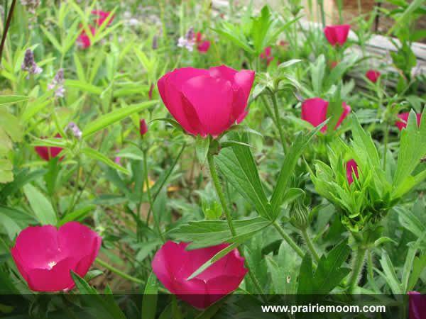 68 best plants images on pinterest garden plants native plants callirhoe bushii bushs poppy mallow oklahoma native publicscrutiny Image collections