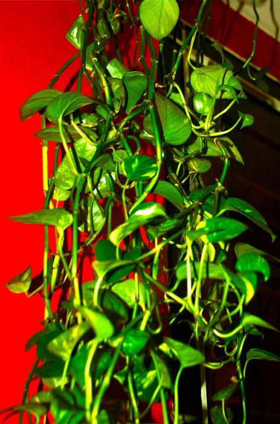 3x Golden Pothos Devil 39 S Ivy Cuttings 6 Long By