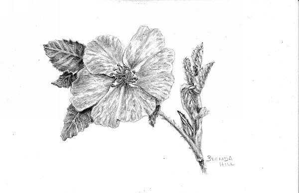 Wild Rose graphite botanical by Brenda Hill
