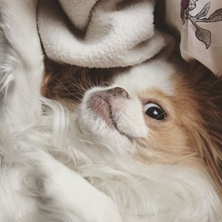 Srsly. | 29 Pics That Prove That Japanese Chins Are The Cutest Dogs Around