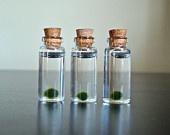 oh my, how cute!  little marimo moss ball pets -- random, but fun gift idea!