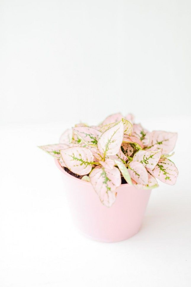 Spruce up your home with this pink  fittonia plant.