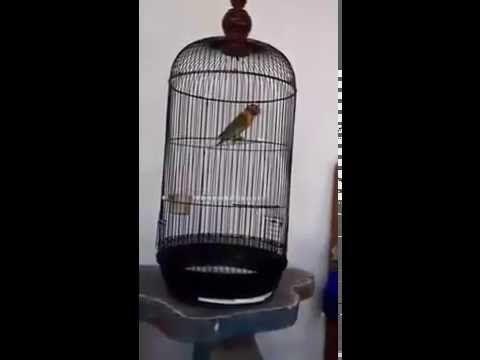 Lovebird Juara Nasional
