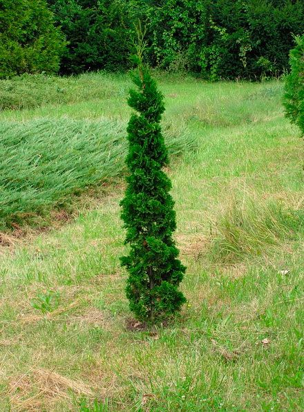 Thuja occidentalis 'Henezia'