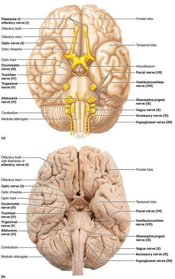 Brain Regions And Nerve Info Graphic Mseducation Msawareness
