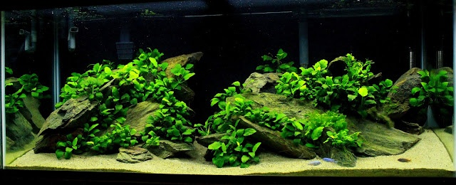 75 Gallon Mixed Africans With Anubias Cichlid Forum Fish Tank Plants Planted Aquarium Aquascape Aquarium