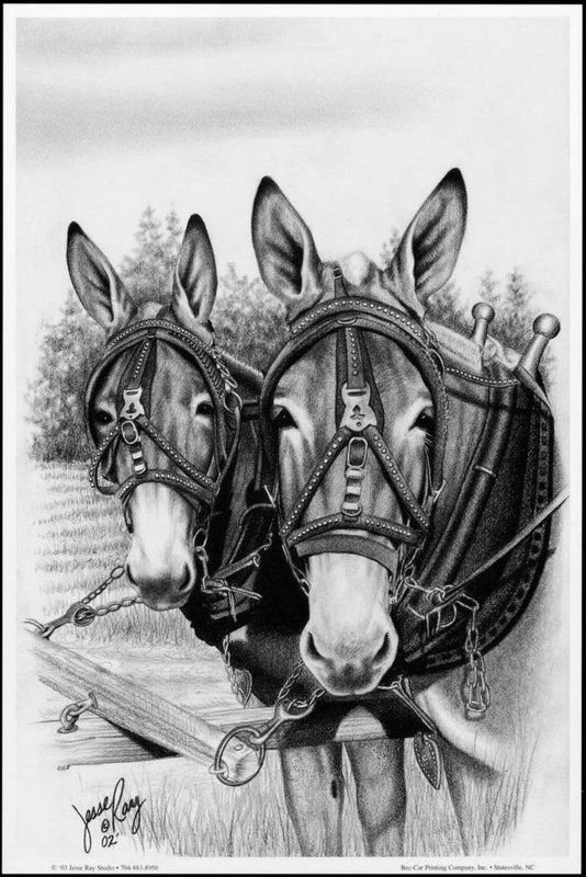 Classic mules pause in the field, all ready for work.