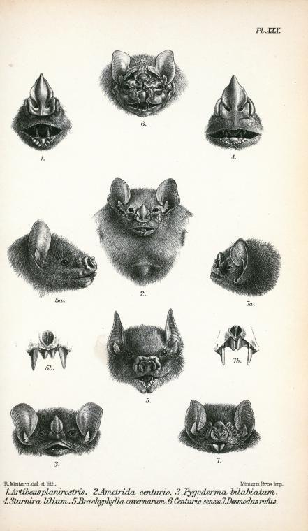 Antique Scientific Illustration Bat Heads 10