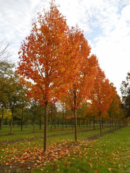 Acer rubrum 'Select' #tree #autumn #colours www.vdberk.co.uk