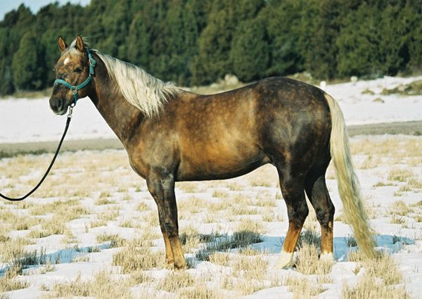 Anyone know what this color (dark palomino?) is or if this horse is transitioning to grey?