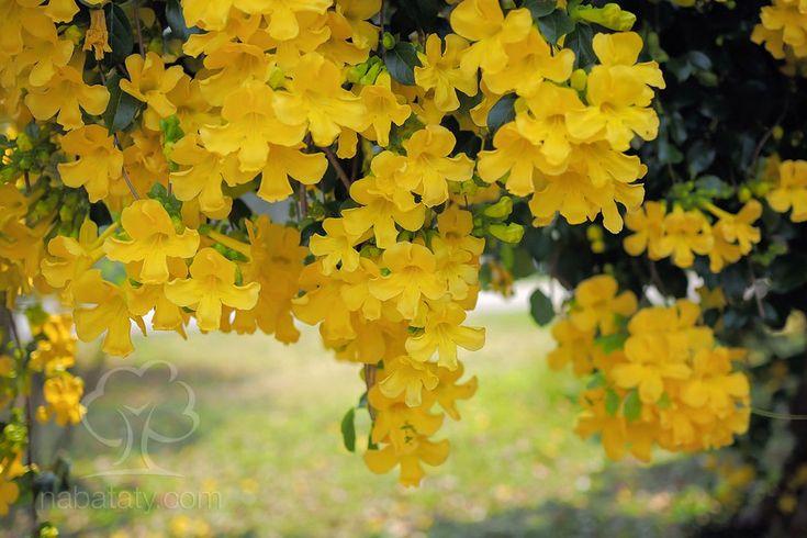 نبات مخلب القط من النباتات المتسلقة ذات الأزهار الصفراء تعرف عليه أكثر من خلال موقع نباتاتي Pumpkin Patch Pumpkin Outdoor