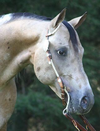 Sand In My Zipper - 2004 Appaloosa Buckskin Stallion