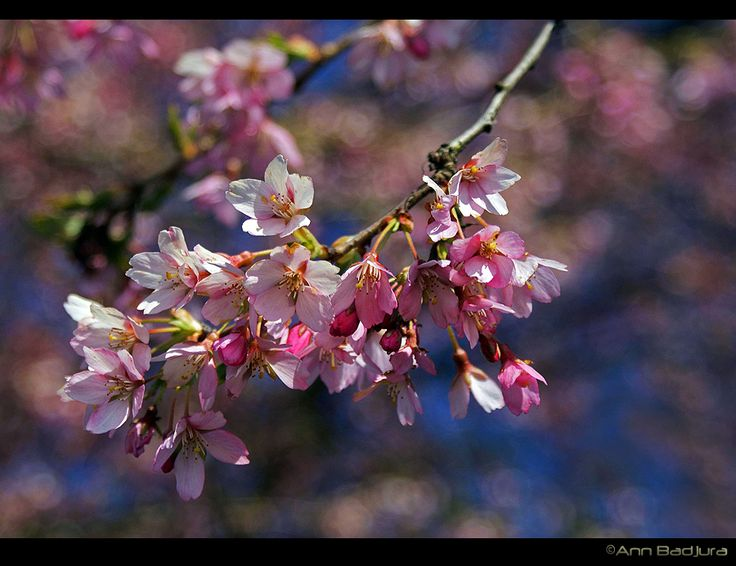 Beautiful cherry blossoms in Vancouver, BC, Canada...taken by myself - ©Ann Badjura