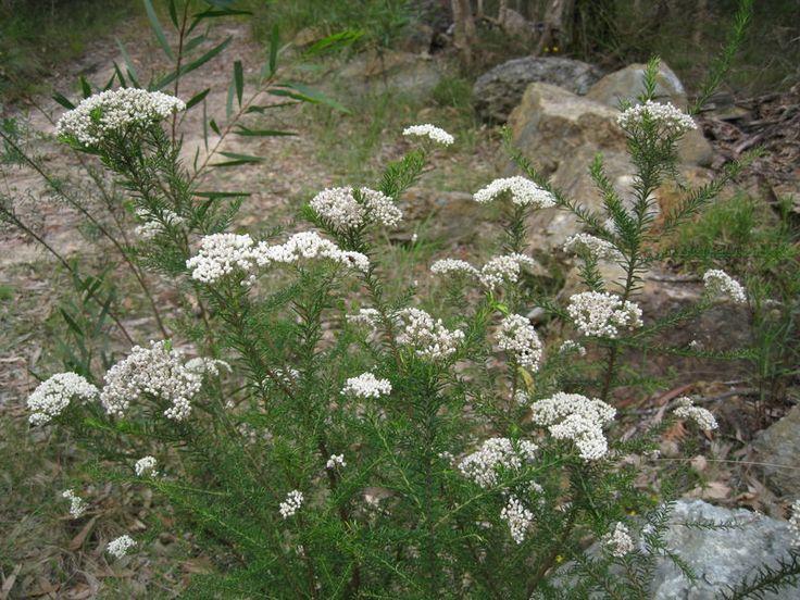 Ozothamnus diosmifolius (Sago Flower) (Brisbane- Dry Eucalypt Forest)