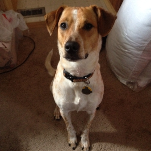 the gallery for gt red heeler jack russell mix