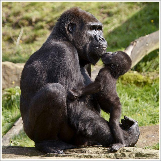 Gorilla moeder Mandji met dochter Iriki uit de Apenheul by Martha de Jong