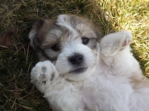 i didnt pay that but This is the puppy i am getting tomorrow!!