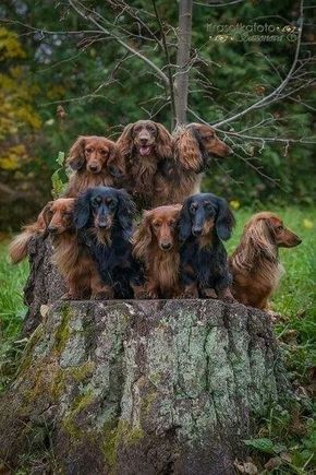 Oh my! Look at this herd of long-haired Dachshunds! How in the Hell did they get them all to stand still ??: Animals, Daschund, Doxies Puppies, Dachshunds Hounds, Weenie