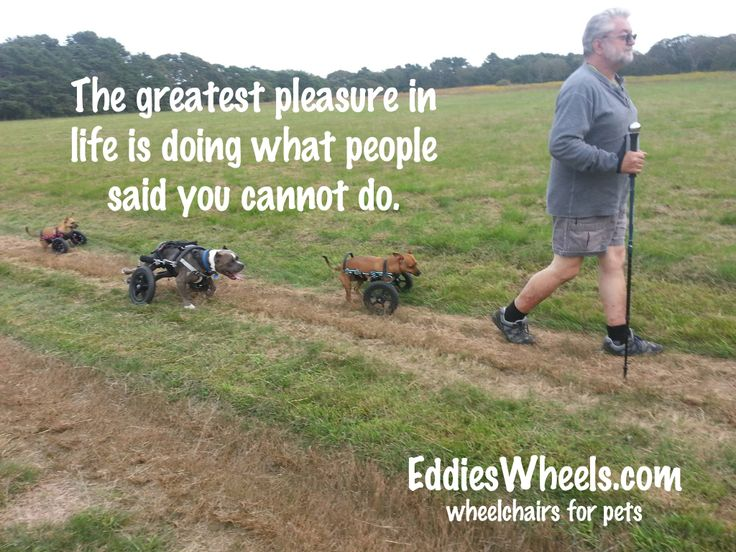 Eddie, Webster, Beau, and Willa taking a hike while on vacation. They put on many miles in their Eddie's Wheels dog wheelchairs! http://eddieswheels.com/travelling-with-your-disabled-dog/