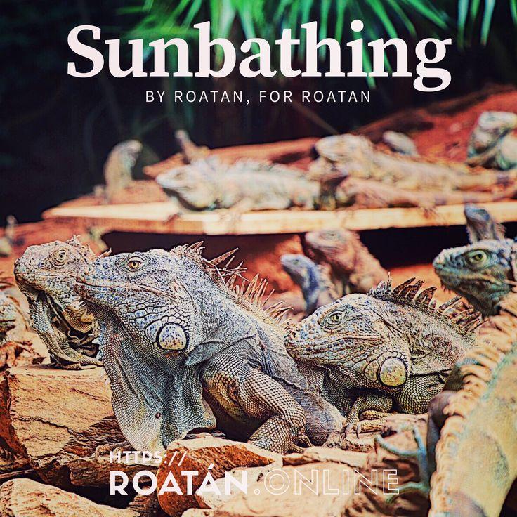 Roatan Iguana Park. We share the Roatan Sun. #honduras #roatan #travel #life #explore #canon https://roatan.online