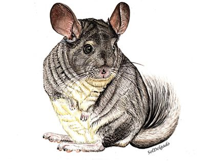 "Check out new work on my @Behance portfolio: ""Chinchilla illustration"" http://be.net/gallery/52422769/Chinchilla-illustration"