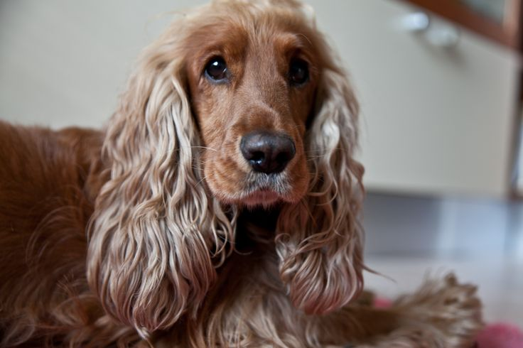 life is better with a cocker spaniel