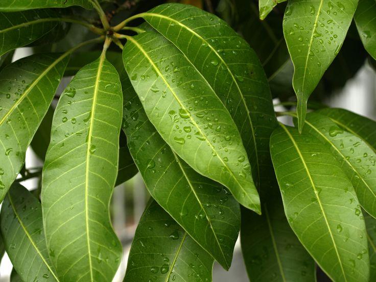 Daun Mangga akan bertekstur lembut dan berwarna kemerahan ketika masih muda kemudian menjadi hijau gelap dan agak pucat bagian bawanya keti...