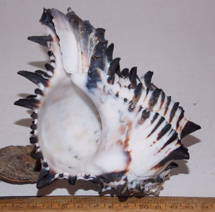 """MUREX - HEXAPLEX RADIX. SIZE: 147mm - 5 3/4"""". This shell was found live in the Sea of Cortez near the city of Desemboque Mexico, about 70 miles south along the east coast of the Sea of Cortez, from Puerto Penasco. 