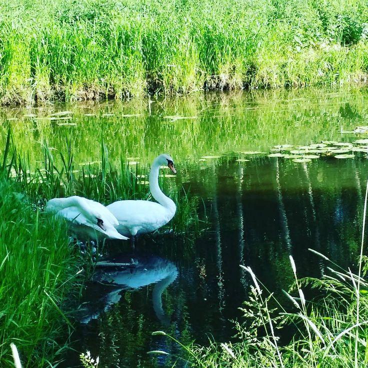 #liebespaar im #drömling >> #lovers in #nature    #wolfsburg #natur #schwan #outdoors #animals #aller #naturphotography