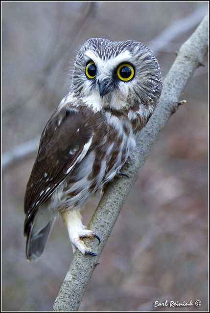 Saw Whet Owl by Earl Reinink, via Flickr