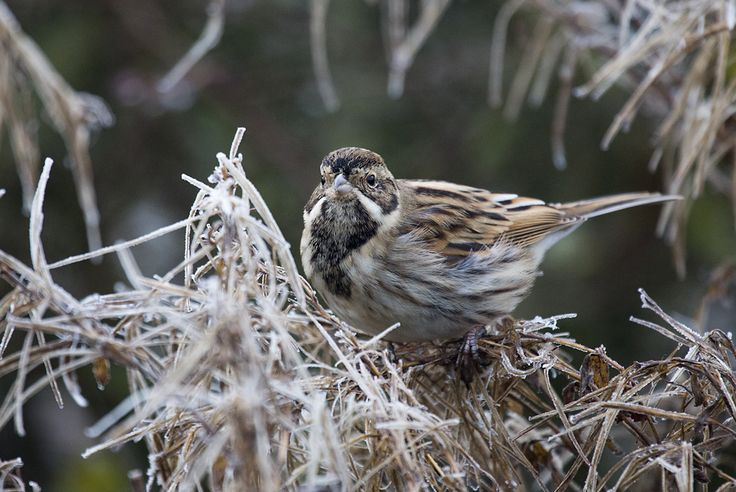 Reed Bunting in winter