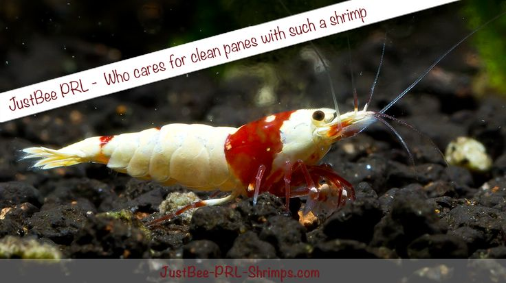 Crystal Red Bee Shrimp