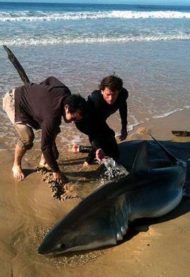 Bold Beachgoers Save a Stranded Great White Shark : TreeHugger